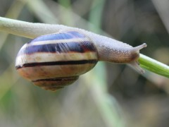 escargot de suède